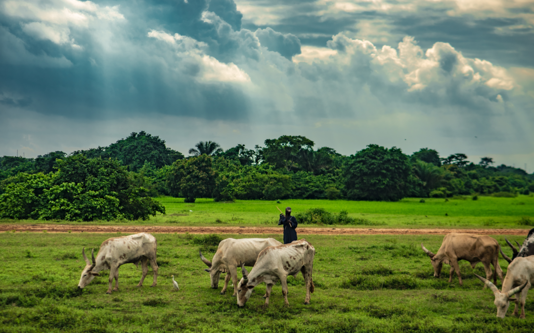 Farmer tending cattle on pasture land with trees and stormy skies in background.